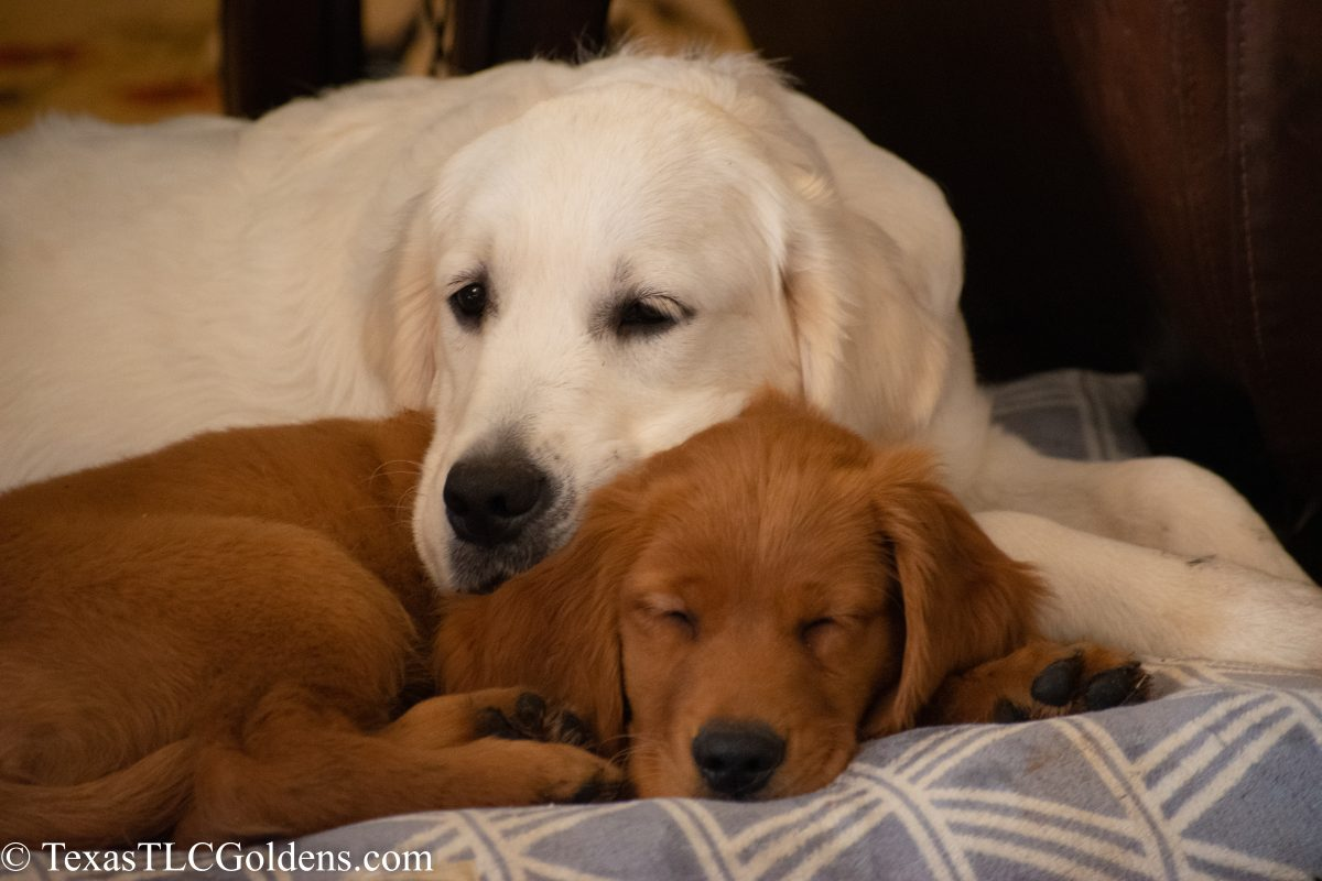 Shipping Golden Retriever Puppies Texas Tlc Goldens